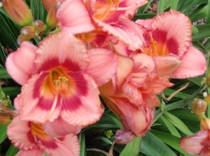 strawberry candy day lily