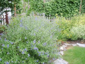 Bluebeard Caryopteris, August 09