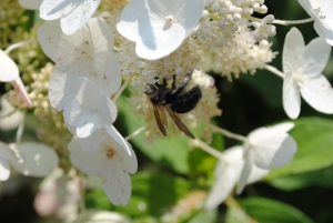 Carpenter Bee on Tardiva in my Secret Garden