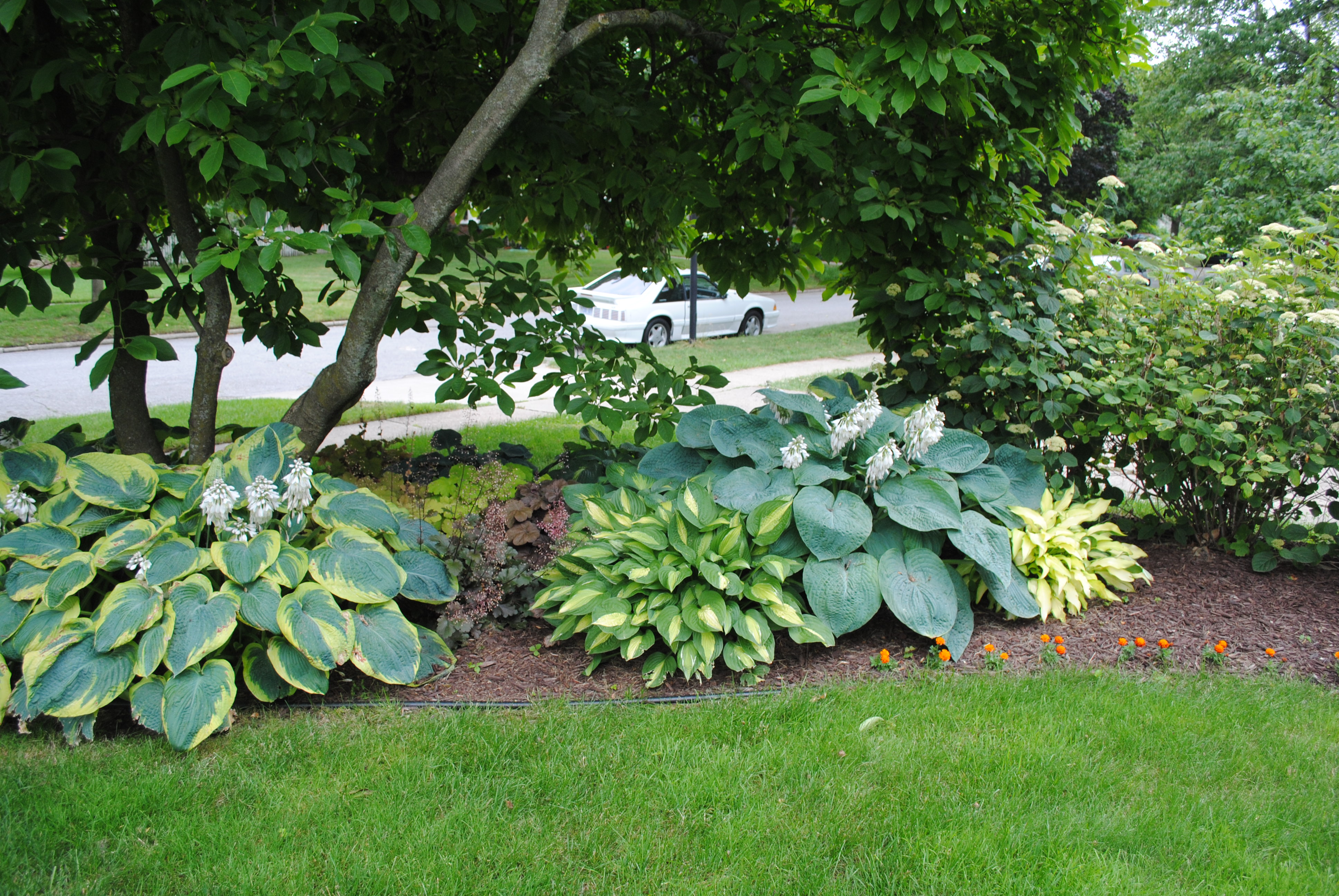 Hostas baby garden337 for Garden under trees