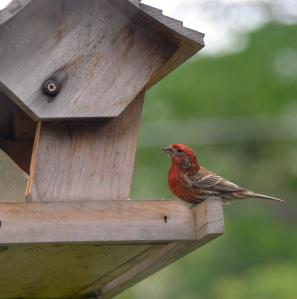 Pruple finch at the feeder.