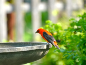 Male Scarlet Tanager sitting at the fountain in the lower garden
