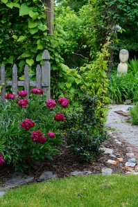 The entrance to the Secret Garden, graced by a two year old peony that is coming along nicely.