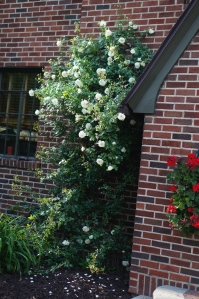White Dawn rose climbing up the chimney in the entrance garden.