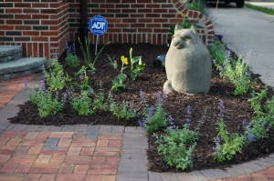 Walker's Low Catmint newly planted in the entrance garden.  Those are yellow cannas behind it.