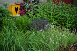 East Friesland Salvia, Cool Cat Catmint, and Jean Davis Lavender