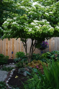 Kousa Dogwood in full bloom, with Caramel Coral Bells