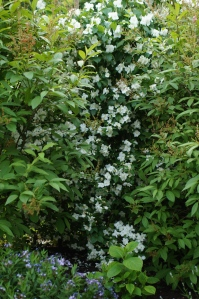 A double flowering mock orange that is pretty but has very little scent, with the last of the very fragrant James McFarlane lilacs