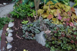 Chocolate Ruffles Heuchera in the Secret Garden under the Kousa