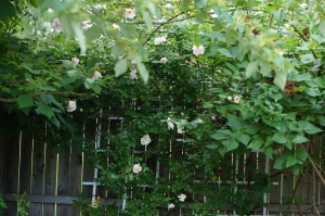 New Dawn Rose climbing along a fence and into the old dogwood in the Secret Garden