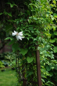 A single white clematis flowering on the arbor.