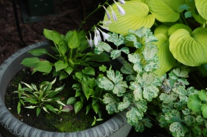 The little miniature hostas that I bought a year ago are nestled near the back door.