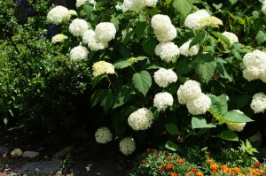 This Annabelle Hydrangea seems to be very happy this summer.  This is such a pleasant change.  Last summer's heat and drought didn't make for happy mop heads of bloom.