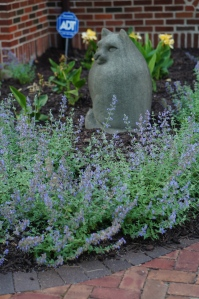 Newly planted just a month ago, the Walker's Low catmint is doing very well in the entrance garden.