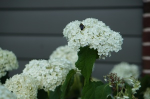 Annabelle Hydrangea putting on a great show.  Last year Annabelle did not do much because of the heat.
