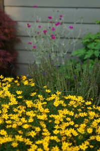 Zagreb Coreopsis and rose campion that a neighbor gave me years ago.