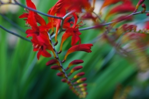 Crocosmia adds such a wonderful pizazz to the day lily bed.  I love the way it drapes over the Garden Lady.