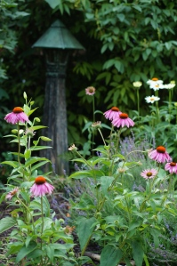 Purple coneflower from a friend and Fragrant Angel echinacea.