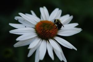 Fragrant Angel echanacea with a friendly bumblebee.
