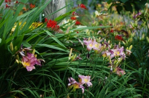 Day lilies and crocosmia in a riot of bloom.