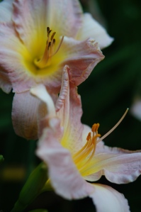 Barbara Mitchell day lily in the Secret Garden.