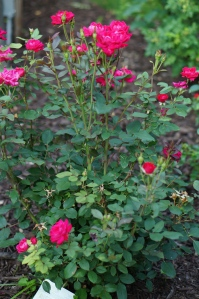 Red Knockout rose in the rose medallion seems to not only avoid disease, but Japanese beetles. Yes, they've arrived for their yearly feast.