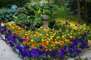 Marigolds and purple petunias great me at the back door.