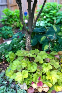 One of my favorite spots in the Secret Garden is a home to various heucheras and hostas under the Kousa Dogwood.