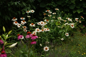 Fragrant Angel echinacea and the Kim's Knee High