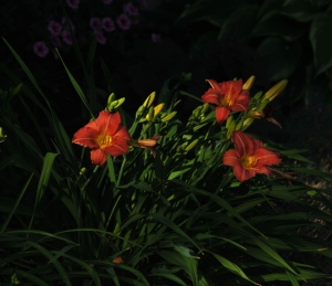 The first of the daylilies in the Secret Garden