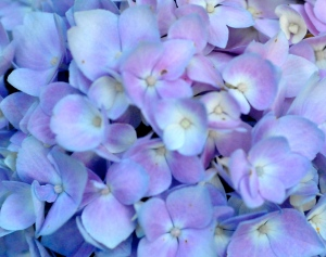 Forever and Ever Hydrangea