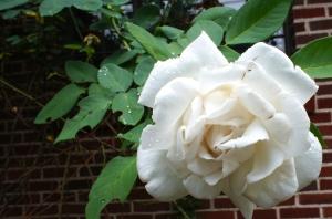 Nameless white climber in the corner garden.