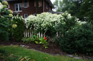 Sweet Autumn clematis taking over the fence and spilling onto one of the arborvitae.