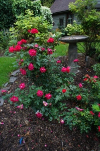 This red Knock Out rose has been blooming like this all summer. And the Carpet Rose next to it has been doing almost as well.