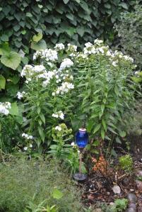 White Phlox in the Secret Garden.
