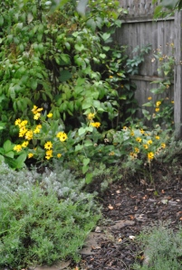 Helianthus and HIdcote lavender in the Secret Garden