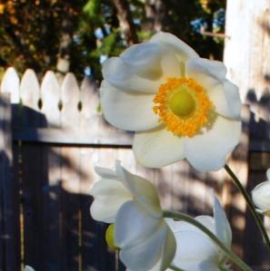 Honorine Joubert anemone