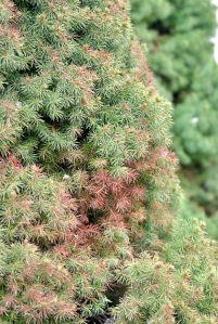 Close-up of Dwarf Alberta Spruce damage