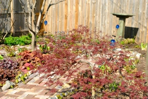 The Japanese maple is starting to fill out.  There is a lot of work that has to happen in the Secret Garden, including breaking up some of the hosts.