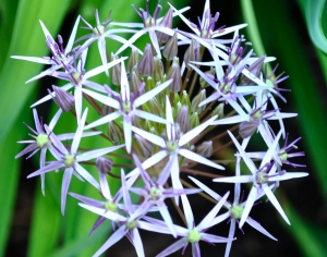 Persian Star allium