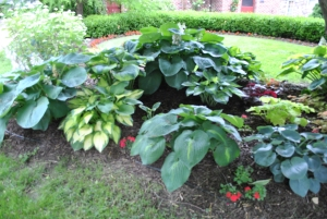 The large hosta in the rear is a division of Elegans.  In front of it to the left is Francis Williams.  Left of Francis is another Elegans (I keep dividing this monster!).  The left front hosta is Orange Marmalade.  Center front is Lakeside Beach Captain. On the far right is Wheaton Blue.