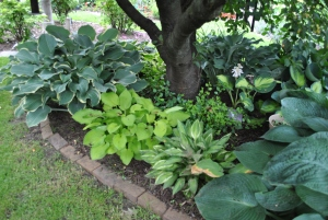 On the far right, just in view, is Elegans.  To the left is Hanky Panky.  The bright green hosta next to it is a mystery to me.