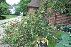A long limb on the cherry tree that I had been propping up for a number of years came down two nights ago during a storm.  I knew it was going to happen sooner or later.  I'm hoping that because it didn't snap completely free that the cherries will continue to ripen.  So far so good.