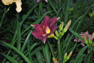 Prince of Midnight day lily.
