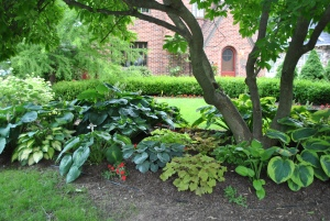The hosta bed in the front garden under the magnolia tree.