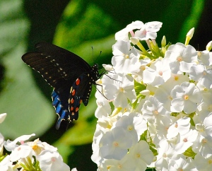 Pipevine Swallowtale on the phlox in the Secret Garden.