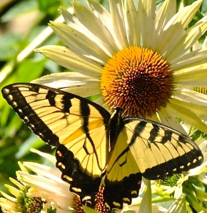 Male Tiger Swallowtail on Fragrant Angel Echinacea in the Secret Garden