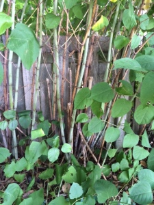 Japanese Knotweed along the neighbor's fence line.