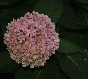 "Forever and Ever hydrangea ""curing"" as the season winds down"