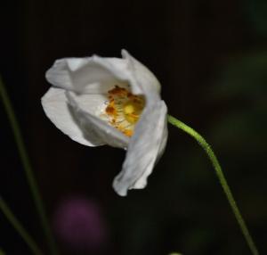 Honorine Jobert anemone in the Secret Garden